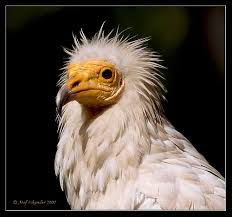 Egyptian vulture 1
