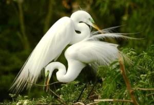 white-egrets-working-together-myrna-bradshaw