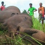 One more pachyderm dies in Odisha's Sambalpur