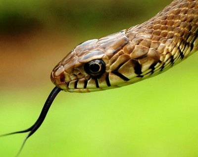 indian-rat-snake-dhaman