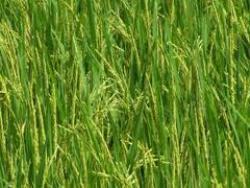 paddu crop