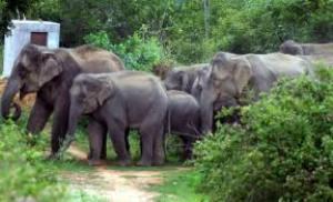 rampaging elephants