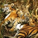 Tiger Census in January to skip Sunabeda sanctuary