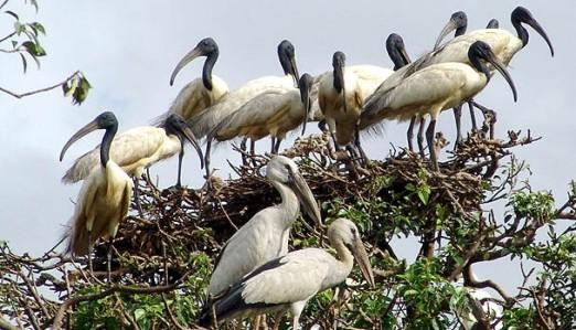 Bhitarkanika birds