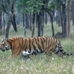 Traces of tiger presence in Kuldiha