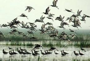 Chilika Birds 1