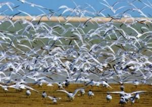 Chilika Birds