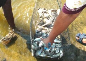 Chilika Fish Catch
