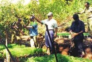 ganja plantation