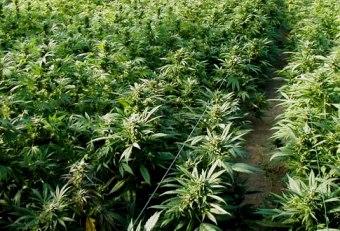 Ganja/ Marijuana
