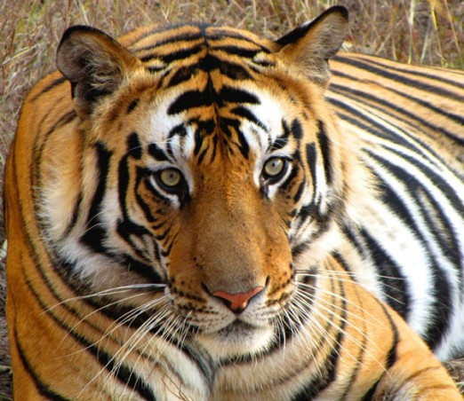 Tiger of discord !