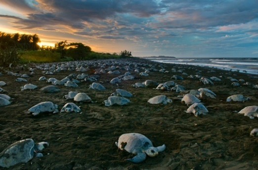 Olive Ridley.