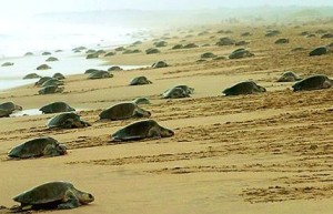 Olive Ridley Turtles: Mass Nesting