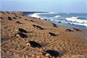 Olive Ridley turtles heading for Nasi-II ( File pic)