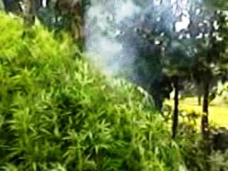 Ganja plants