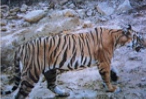 A Royal Bengal Tiger in Satkosia captured on camera