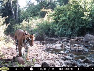 A Satkosia tiger caught on camera in 2012