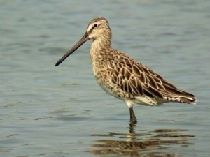 Asian dowitcher ( pic : birding2asia.com)