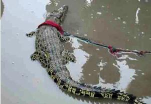A juvenile croc that strayed into Orata village in Mahakalpada on Apr 20, 2014 (EMS pic)