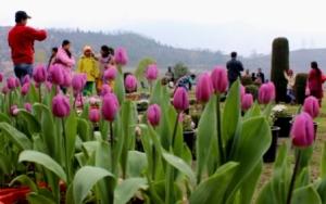 Tulip Garden, Srinagar ( IANS pic)