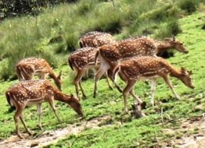 Spotted deer Bhitarkanika