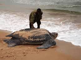 file pic of a Leatherback sea turtle (source: dausettrails.com)