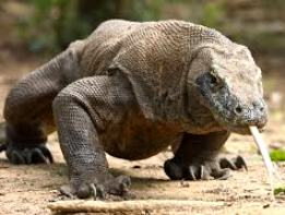 Komodo dragon ( source : natureandscience-alb.blogspot.com)