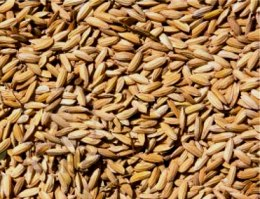 paddy-seeds