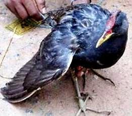 rare black bird