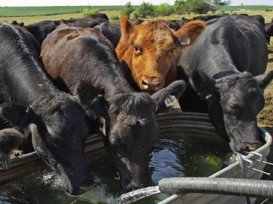 cattle-water