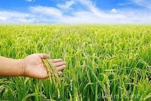 paddy crop