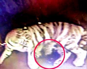 Black tiger cub