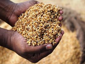 Paddy Rice Grains
