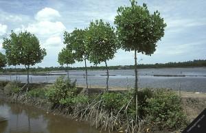 mangrove cleared