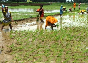 paddy transplant agriculture