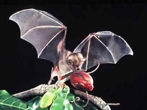Fruit Bat Ebola Carrier