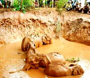 elephants trapped in well