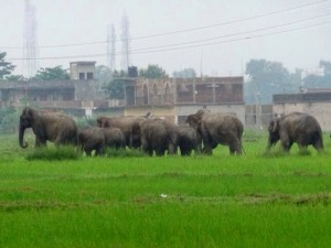 Elephants in Rourkela