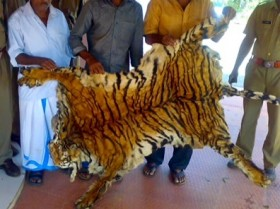File pic of a seized  tiger skin