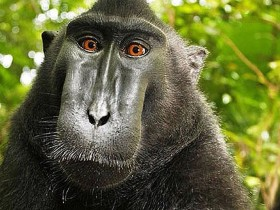 The controversial Monkey Selfie on Wikipedia