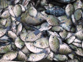Fish Chilika