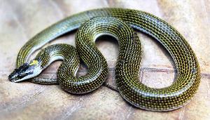 New snake species Lycoden Odishsi