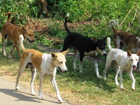 Stray Desi Dogs