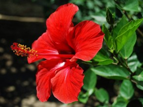 Hibiscus ( Mandara ) flower ( freewallsource.com)