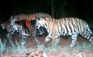similipal tigers