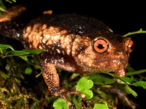 Callulina meterora, a recently-discovered frog from Nguru Mountains,-Tanzania (source-.mongabay.com)