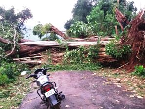 Uprooted trees blocking a road  in Narayanpatna