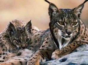 Iberian Lynx ( source-lhnet.org)