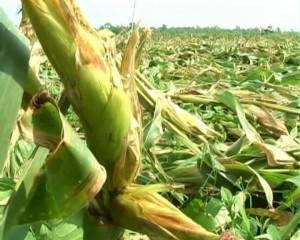 Hudhud damage maize Nabrangpur