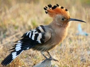 The Hudhud (Hoopoe) Bird